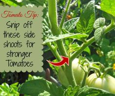 Tomato Tip: Be sure to snip off these side shoots for stronger tomato plants. See more tips for growing tomatoes at thegardeningcook…. Tips For Growing Tomatoes, Growing Tomato Plants, Growing Tomatoes In Containers, Growing Vegetables, Grow Tomatoes, Trimming Tomato Plants, Growing Herbs, Home Vegetable Garden, Tomato Garden
