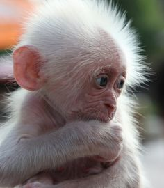 Albino Baby Monkey - Not a happy dude right now! !IEC