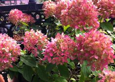 Seems Little Lime Hydrangea gives more of a pop of pink in some areas