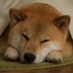 """柴犬, Shiba Inu <3 ~lisa """"Good night. 今日は卵食べた?まるはご飯に混ぜてもらったよ。 #健康になりますように #美味しかった""""(c)"""