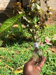 Light Bulb Plant, Planting Bulbs, Plants, Plant, Planets