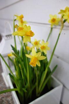 DecoDreamer's Diary: Easter, pääsiäinen, kukat, flowers, narcissus, narsissit, keltainen, yellow