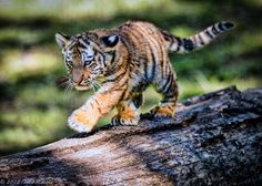 "Tiger Cub: ""I'm practicing my omnipotent walk for when I become a fully grown Tiger!"""