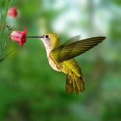 Find Hummingbird stock images in HD and millions of other royalty-free stock photos, illustrations and vectors in the Shutterstock collection. Insect Eggs, Les Fables, Hummingbird Tattoo, Hummingbird Food, Hummingbird Pictures, Hummingbird Flowers, Humming Bird Feeders, Humming Birds, Bird Book