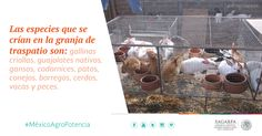 Las especies que se crían en la granja de traspatio son: gallinas criollas, guajolotes nativos, gansos, codornices, patos, conejos, borregos, cerdos, vacas y peces. SAGARPA SAGARPAMX #MéxicoAgroPotencia