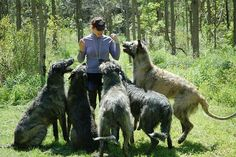 Wolfhounds.