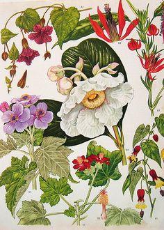 Vintage Botanical Print 177 | Flickr - Photo Sharing!