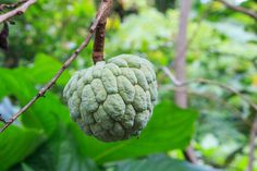How to Grow Custard Apple Trees From Seed