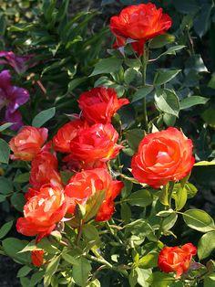 'Pigalle' | Floribunda Rose. Meilland, |  © Oliver