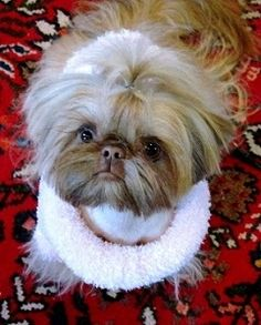 Beautiful Shih Tzu Puppies http://www.pinterestbest.net/Dunkin-Donuts-100-Gift-Card