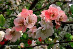 two-tone blossom(sakura), Kyoto, Japan
