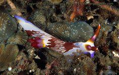 Nembrotha lineolata Lembeh strait - North Sulawesi (Indonesia)