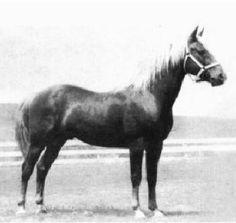 Silver Rockwood, uno de los sementales sobre los que se fundó la raza American Morgan Horse en North West, Inglaterra.