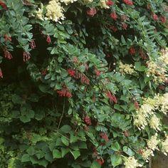 Berberidopsis+corallina+-+Plante+Corail