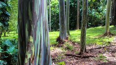 http://thewildpapaya.com/wp-content/uploads/2014/10/People-Nature-2-Rainbow-Eucalyptus-3.jpg