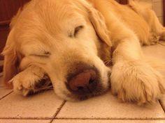Me la pisolo un pochino  #Aaron #MyDog #goldenretriver #sleep
