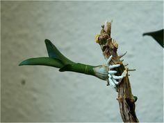 Orchideen Ableger   Orchideen vermehren   Orchideen Ratgeber