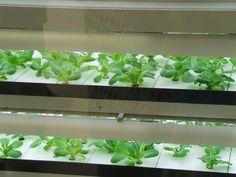 Romaine lettuce growing under Artificial Light