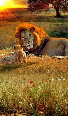 Awe! Baby Lion going to Papa Lion. So precious! Lion of Judah love.