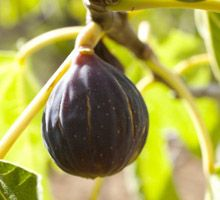 The Fig harvest season is in full swing, and this is great news because the sweet rich flavor of figs, combined with their soft pulp and crunchy seeds make for an irresistible treat that can't…