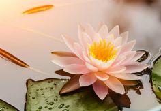 La Flor de Loto posee diversos significados que sin duda quedarán plasmados en tu piel de forma bella y elegante