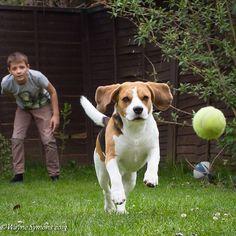 My beagle chasing a ball