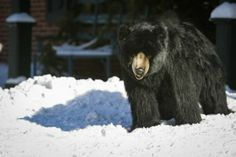This fake bear is spotted deep in snow in front of Wild Thyme Flowers in Centreville Wednesday January 22, 2014.
