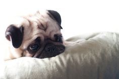 Pug, Reflecting by RyanMacLean on Flickr.