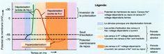 Potentiel d'action (influx nerveux) dans un neurone