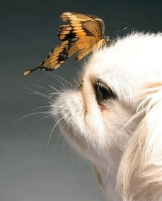 Pekingese dog and butterfly