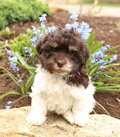 🐾💙#Charming and #Playful, Havanese puppy named Beck has a #WinsomePersonality that will melt your heart! Beck loves to play and #Frolic and has seemingly infinite amounts of energy. #Charming #PinterestPuppies #PuppiesOfPinterest #Puppy #Puppies #Pups #Pup #Funloving #Sweet #PuppyLove #Cute #Cuddly #Adorable #ForTheLoveOfADog #MansBestFriend #Animals #Dog #Pet #Pets #ChildrenFriendly #PuppyandChildren #ChildandPuppy #LancasterPuppies www.LancasterPuppies.com Havanese Puppies For Sale, Lancaster Puppies, Puppy Names, Animals Dog, Fun Loving, Mans Best Friend, Say Hello, Infinite, Puppy Love