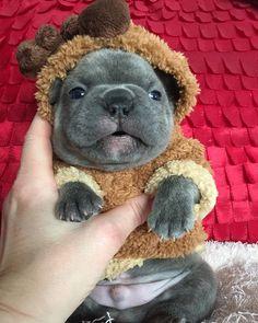 'Blitzen' the French Bulldog Reindeer ❤️❤️