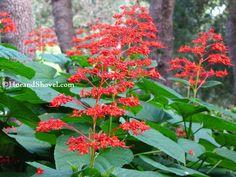Hoe and Shovel: Sturdy Summer Perennial :: Pagoda Flower