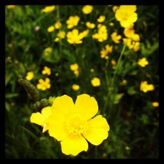 Buttercups in Maine ~sms 06/13~