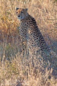 Cheetah spotted by guests on safari at Africa on Foot in the Kruger. Imagine seeing this creature in the wild while on vacation?  #cheetah #safari #Africaonfoot