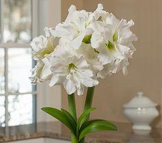 "Amaryllis Arctic Nymph, one bulb in green nursery pot   18""+ height, short?"