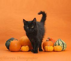 Black Maine Coon kitten and pumpkins