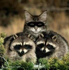 2 Raccoons And An Impostor!