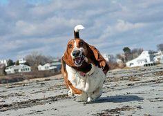 Basset Hounds Running