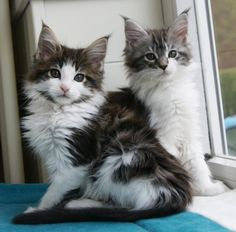 Maine Coon Kittens | Cattery La Lau | The Netherlands | www.kittentekoop.nl http://www.mainecoonguide.com/