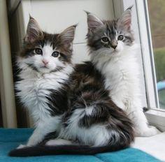 Maine Coon Kittens | Cattery La Lau | The Netherlands | www.kittentekoop.nl