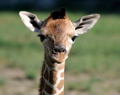 This female giraffe was born at the Detroit Zoo on Aug Her name in Swahili means ( Gift ). Detroit Zoo, New Baby Products, Animals, Meet, Animales, Animaux, Animal, Animais