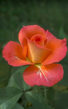 Vibrant hybrid tea rose.