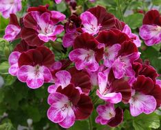 "Pelargoniums – tagged ""Angel"" – Page 2 – Fibrex Nurseries Ltd Ornamental Cabbage, Astrantia, Ivy Leaf, Hardy Perennials, Blossom Flower, Petunias, Clematis, Pansies, Belle Photo"