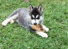 Husky Puppies For Sale, Siberian Husky Puppies, Dogs And Puppies, My Husky, Husky Puppy, Snow Dogs, Foxes, Puppy Love, Dog Breeds