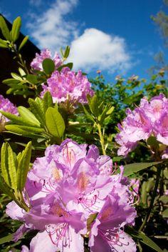 Hämmentäjä: Kasvimaa kesäkuussa. Alppiruusut, rhododendrons.