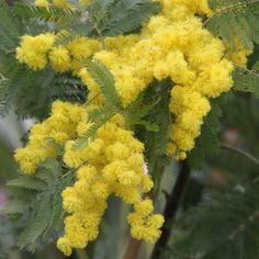 Mimosa des fleuristes - Acacia dealbata Gaulois Astier greffé, non drageonnant. Plants, Flowers, Acacia, Tree, Garden