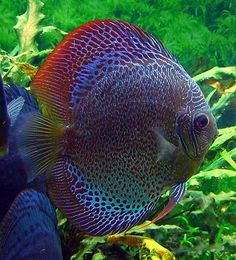 Today I brought a Snakeskin discus. He (or she?) looks a lot like this one, though mine is younger.
