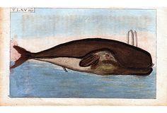 """Greenland Whale Engraving, 1808 - """"Original hand-colored copperplate engraving from Wilhelm's Unterhaltungen aus der Naturgeschichte (Germany, 1808). """""""