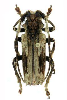 Baraeus tridentatus Fabricius, 1801, Cameroon http://www.coleop-terra.com/gallery/lamiinae/baraeus-tridentatus/